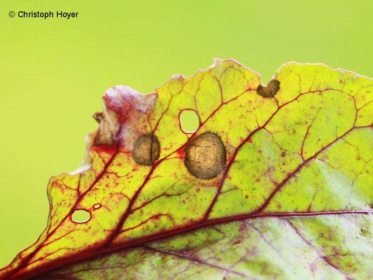 Ramularia-Blattflecken an Roter Bete