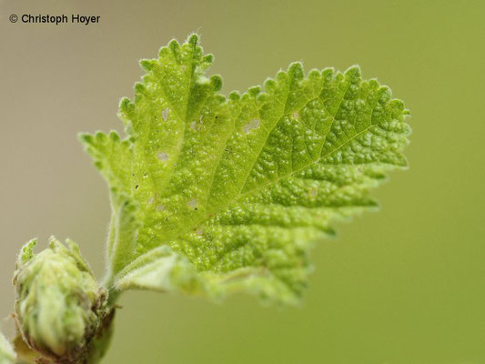 Stockrose (Alcea rosea) Spitzmäuschen (Rhopalapion longirostre) - Schadbild am Blatt
