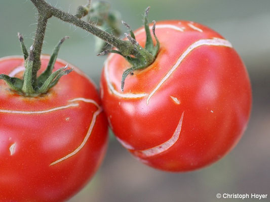 Platzen der Tomatenfrüchte