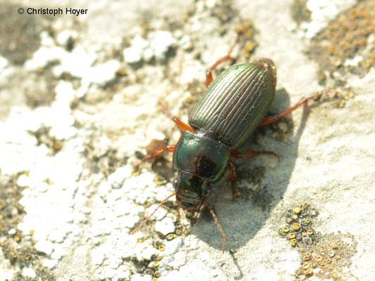 Rotbeiniger Schnellläufer (Harpalus spec.)