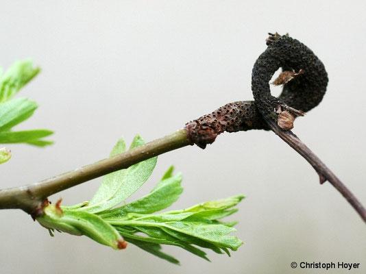 Weißdorngitterrost - Befallssymptome am Trieb