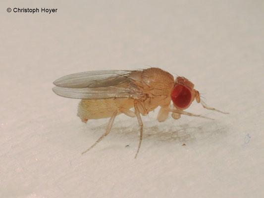 Kirschessigfliege an Erdbeere - Weibchen