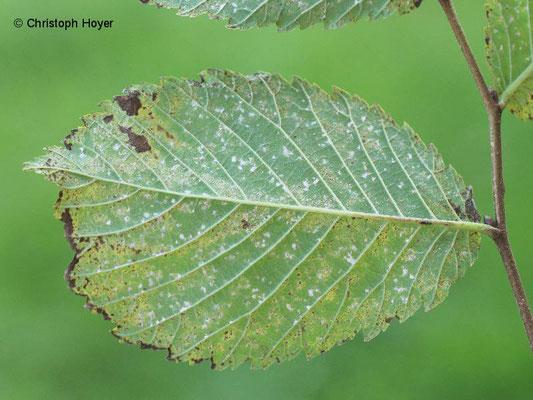 Phloeospora-Blattflecken an Ulme