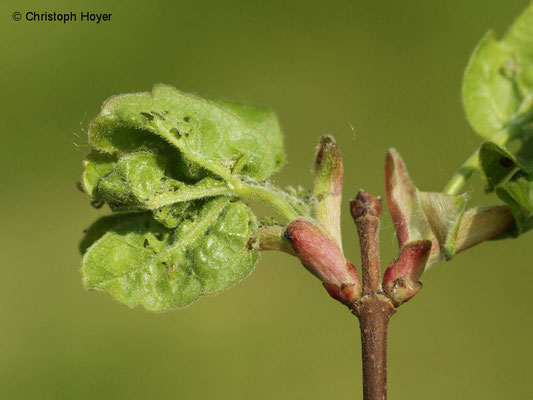 Kleiner Frostspanner (Operophtera brumata) an Feldahorn (Acer campestre) - Schadbild