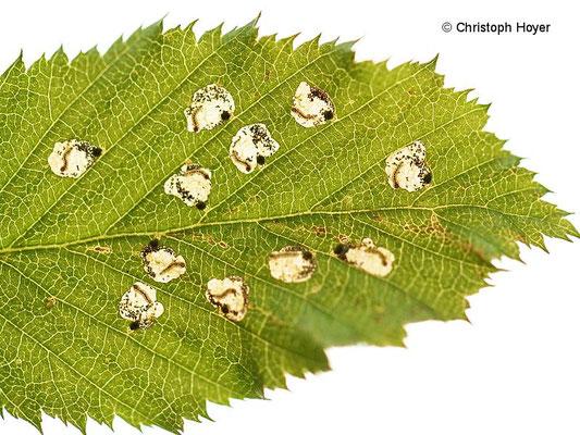 Miniermotte an Hainbuche - Schadbild Incurvaria pectinea