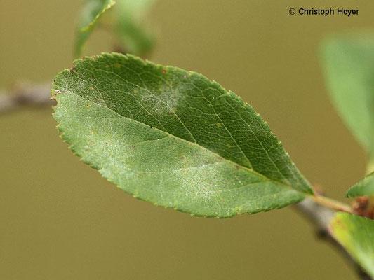 Echter Mehltau (Erysiphe prunastri) an Schlehe (Prunus spinosa)