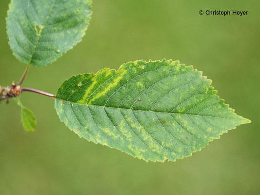 Virussymptome an Vogelkirsche (Prunus avium)