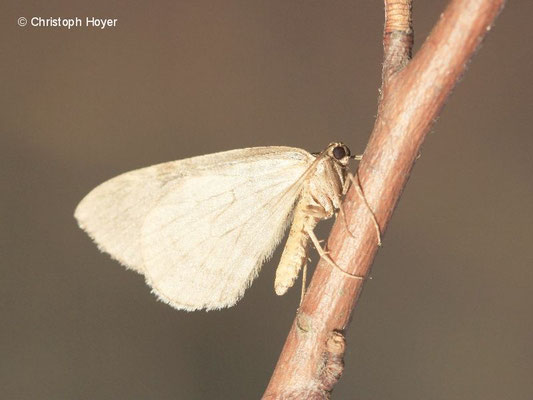 Kleiner Frostspanner (Operophtera brumata) an Vogelkische (Prunus avium) - männlicher Falter