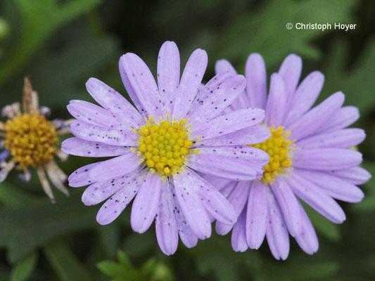 Blütenthrips an Brachycome