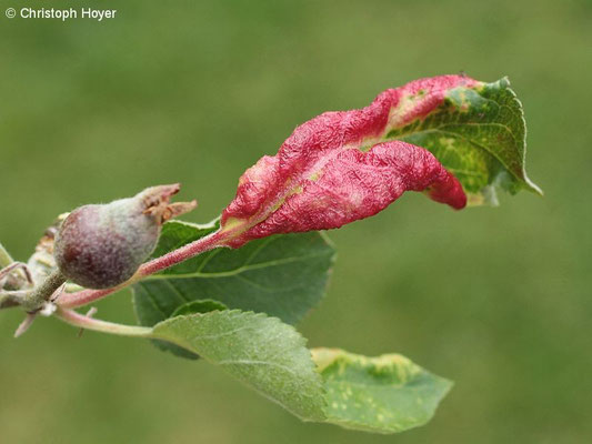Apfelfaltenlaus (Dysaphis spec.) - Schadbild