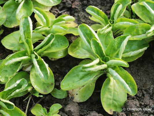 Löffelblättrigkeit an Feldsalat