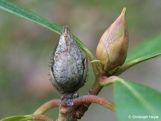 Knospensterben an Rhododendron