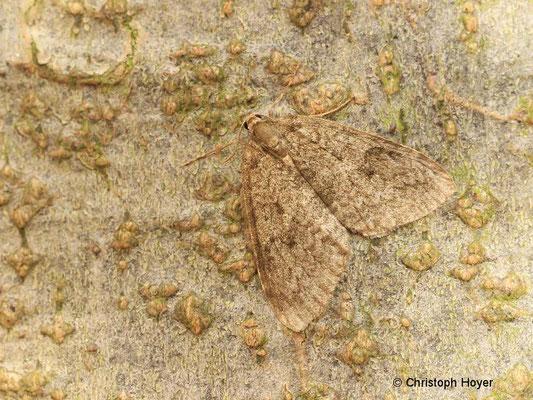 Kleiner Frostspanner (Operophtera brumata) - Männchen