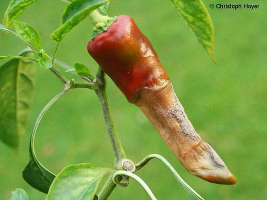 Grauschimmel an Paprika - Frucht