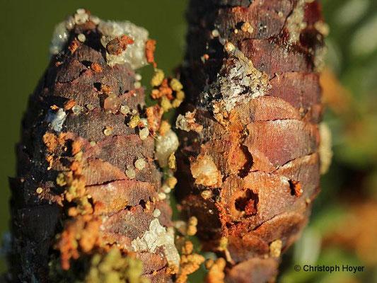 Fichtenzapfenzünsler (Dioryctria abietella) - Schadbild an Serbischer Fichte (Picea omorika)