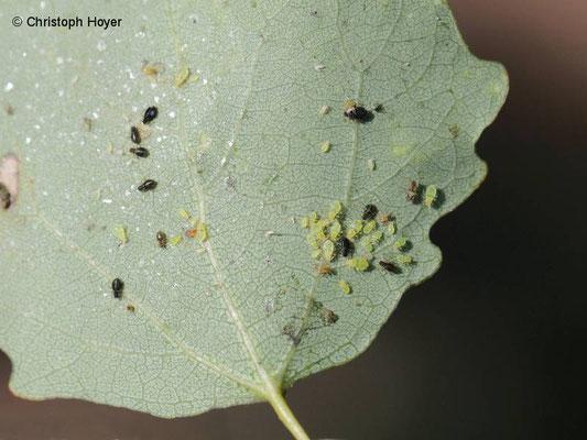 Espe oder Zitterpappel (Populus tremula) - Blattläuse (Chaitophorus spec.)