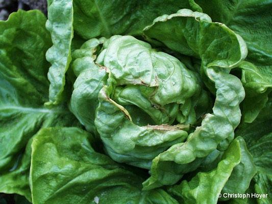 Randen an Kopfsalat