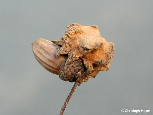 Knoppergalle - Schadbild - Andricus quercuscalicis
