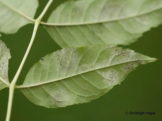 Esche (Fraxinus excelsior) - Echter Mehltau (Phyllactinia fraxini)