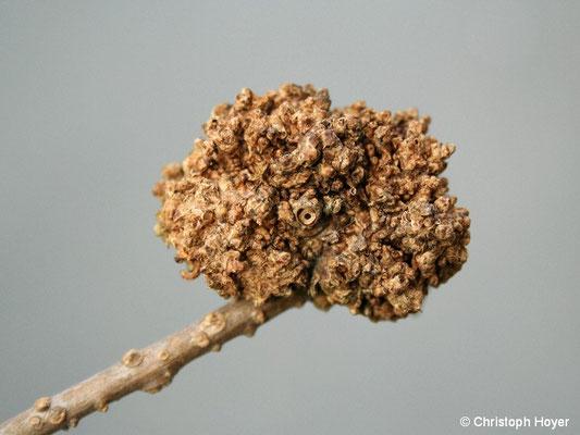 Forsythie (Forsythia) - Triebgallen (Rhodococcus fascians)