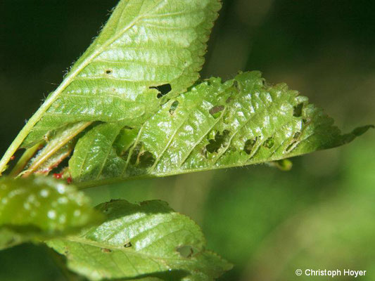Kleiner Frostspanner (Operophtera brumata) an Vogelkische (Prunus avium) - Schadbild