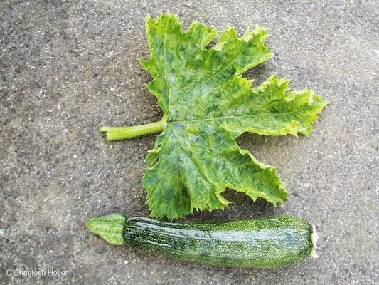 Virus an Zucchini - Frucht und- Blattsymptome