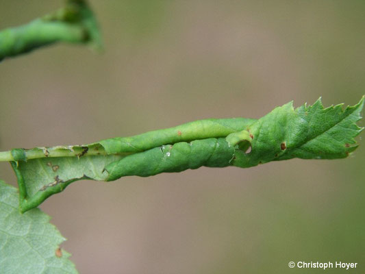 Rosenblattrollwespe (Blennocampa pusilla) - Schadbild