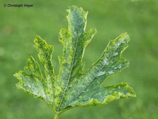 Virus an Zucchini - Blattsymptome