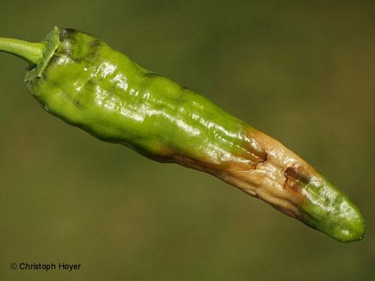 Sonnenbrand an Paprika (Capsicum annuum)