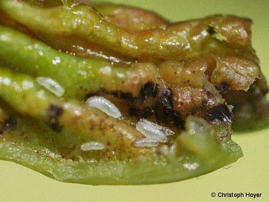 Ahornfaltengallmücke - Larven