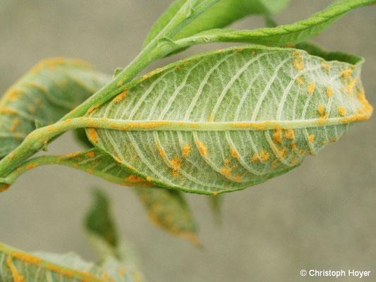 Rost (Melampsora spec.) an Weide (Salix caprea)