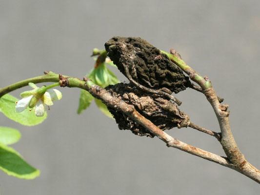 Monilia-Fruchtfäule an Zwetsche