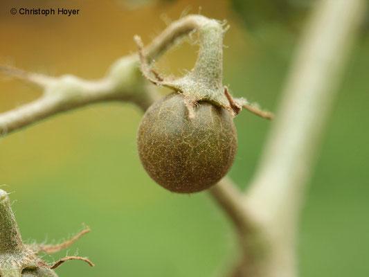 Tomatenrostmilbe - Schadbild an der Frucht