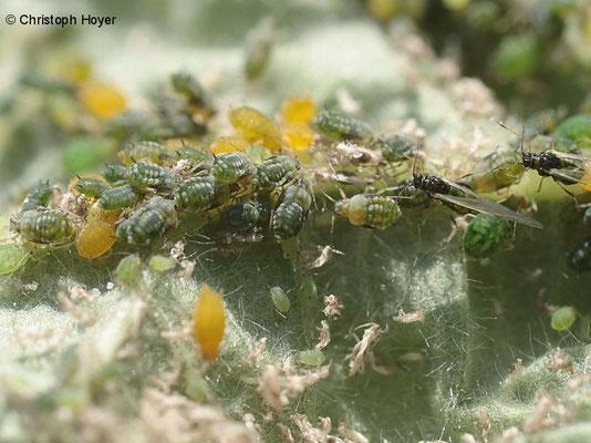 Blattläuse an Brombeere