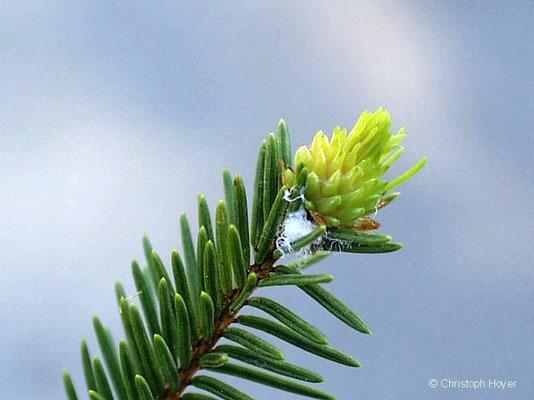Fichtengallenlaus -Schadbild Ananasgalle im Frühjahr
