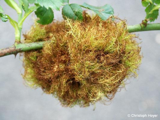 Galle von Rosengallwespe (Diplolepis rosae) -  im Sommer
