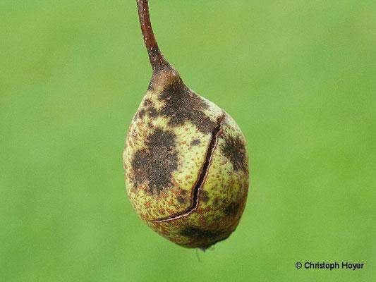 Birnenschorf an Frucht