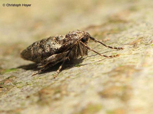 Kleiner Frostspanner (Operophtera brumata) an Vogelkische (Prunus avium) - weiblicher Falter