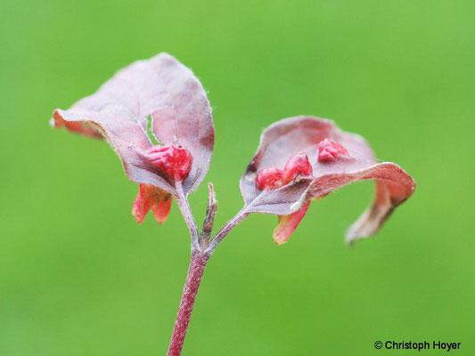 Gallen der Gallmücken (Craneiobia corni) an Hartriegel (Cornus sanguinea)
