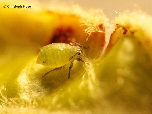 Grüne Apfelblattlaus (Aphis pomi)