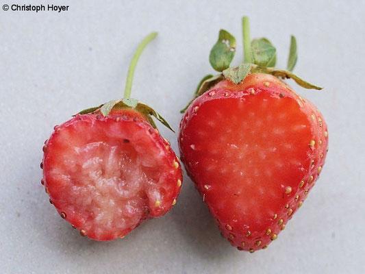 Kirschessigfliege an Erdbeere - Schadbild