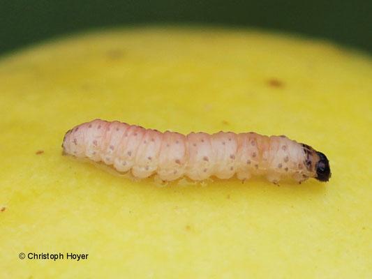 Apfelwickler - Larve