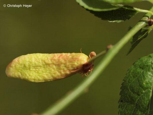 Myrobalane (Prunus cerasifera) - Narren oder Taschenkrankheit (Taphrina pruni) Fruchtsymptome