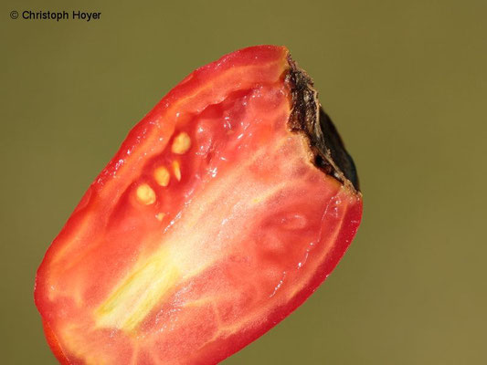 Blütenendfäule an Tomate