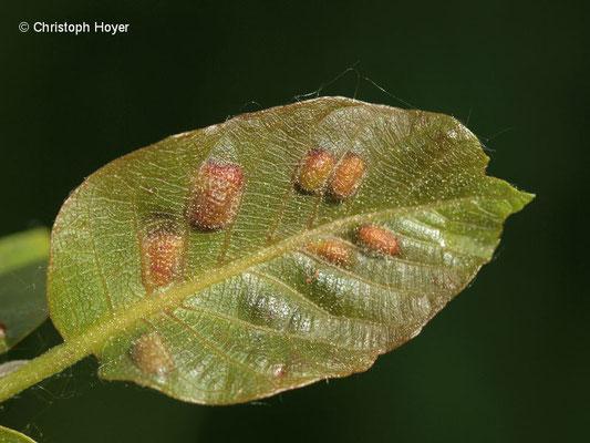 Filzgallmilbe (Aceria erineus Syn. Eriophyes erineus) an Walnuss (Juglans regia) - Schadbild Frühjahr