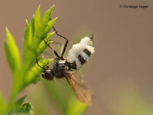 Fliegentöter (Entomophthora musca)