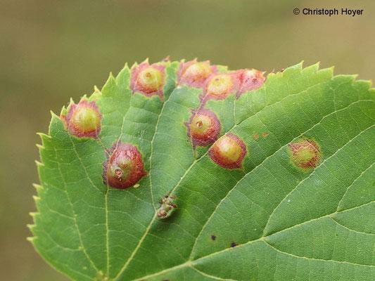 Blattgallmücke an Linde - Schadbild