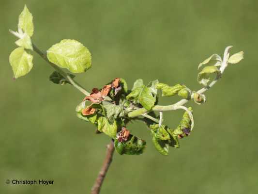 Mehlige Apfelblattlaus (Dysaphis plantaginea) - Schadbild