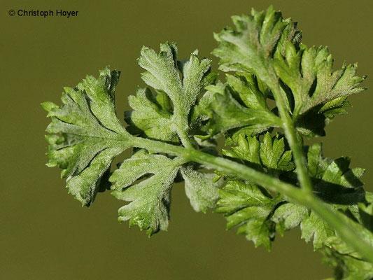 Echter Mehltau (Erysiphe heraclei) an Petersilie (Petroselinum crispum)