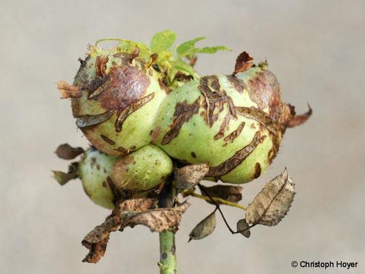 Galle von Diplolepis mayri an Rosa canina
